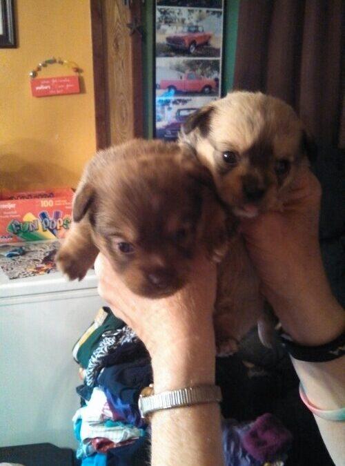 Too little cuties shitsu and Chihuahua
